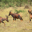 Common Tsessebe in Uganda — Stock Photo