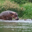 Some Hippos waterside in Africa — стоковое фото #7297883