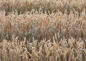 Illuminated wheat field detail — Stock Photo