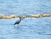 African Openbill in water scenery — Stock Photo