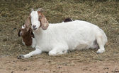 Goats and hay — Stock Photo