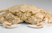 Frontal shot of a moon crab — Stock Photo