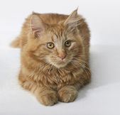 Maine Coon kitten portrait — Stock Photo