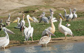 Great White Pelicans in Uganda — Stock Photo