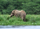 Waterside scenery with Elephant — Stock Photo