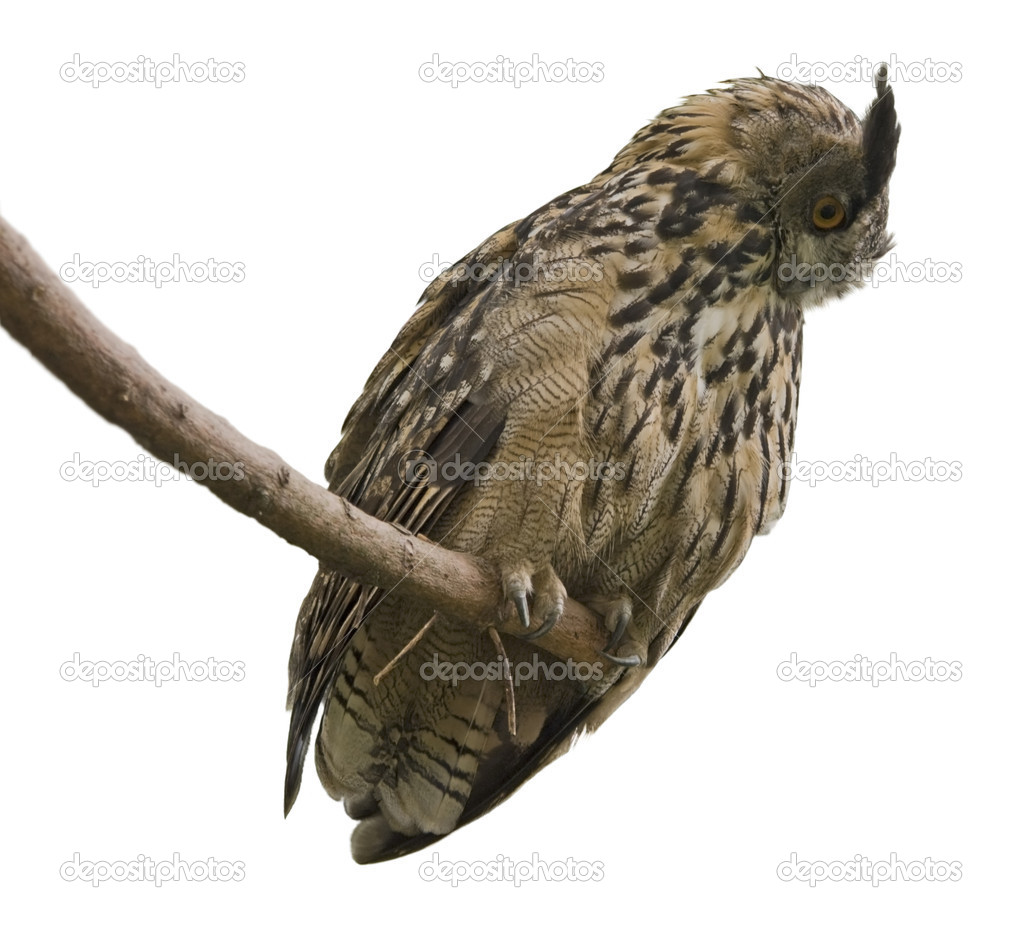 Low angle shot of a eagle owl sitting on a bough in white back — Stock Photo #7297604