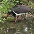 Stock Photo: Wading Black Stork