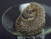 Hedgehog in a glass bowl — Stock Photo