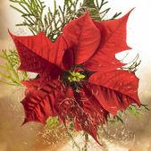Poinsettia flower — Stockfoto