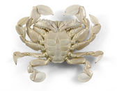 Moon crab in white back — Stock Photo