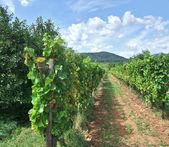 Vineyard scenery in Alsace — Stock Photo
