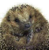 Rolled-up hedgehog portrait — Stock fotografie