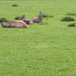 Resting Red Deers — Stock Photo