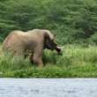 Elephant waterside in Africa - Stockfoto
