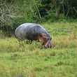 Hippo in Uganda - Stock Photo