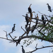 Africbirds on treetop — Stock Photo #7327301