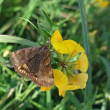 Brown butterfly on yellow flower - Stock Photo
