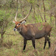 Defassa Waterbuck in shrubby vegetation - Stock Photo