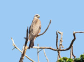 Black Kite on a bough — Stock Photo
