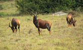 Common Tsessebe in african Savannah — Stock Photo