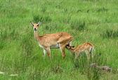 Uganda Kobs in green grassland — Stock Photo