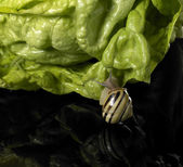 Grove snail and green salad — Stock Photo