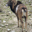 Mouflon in stony ambiance — Stock Photo #7344817