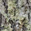 Lichen on bark — Stock Photo