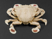 Moon crab isolated on black — Stock Photo