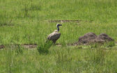 White-backed Vulture in grassy ambiance — Stock Photo