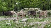 Pack of Gray Wolves near forest edge — Stock Photo