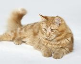 Red Maine Coon kitten — Stock Photo