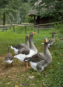 Rural idyllic scenery showing some geese — Stock Photo