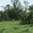 Resting Giraffes in Uganda — Stock Photo #7356363