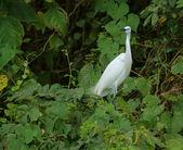 Little Egret in green vegetation — Stock Photo