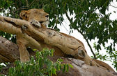 Lion on a tree in Uganda — Stock Photo