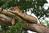 Lion resting in a tree — Stock Photo