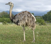 Greater Rhea in cloudy ambiance — Stock Photo