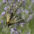 Scarce Swallowtail — Stock Photo #7372187