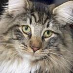 Norwegian Forest Cat portrait — Stock Photo #7372230