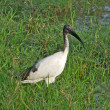 African Sacred Ibis in grassy back — Stock Photo