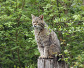 Wildcat in natural ambiance — Stock Photo