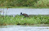 African Openbill in Uganda — Stock Photo