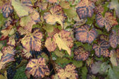 Grape leaves detail — Stock Photo