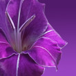 Violet gladiolus flower — Stock Photo