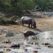 Stock Photo: Some Hippos waterside