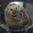 Hedgehog in a glass bowl — Stock Photo #7385275