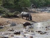 Sommige nijlpaarden waterkant — Stockfoto