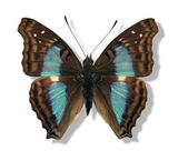 Iridescent butterfly — Stock Photo