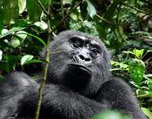 Gorilla portrait — Stock Photo
